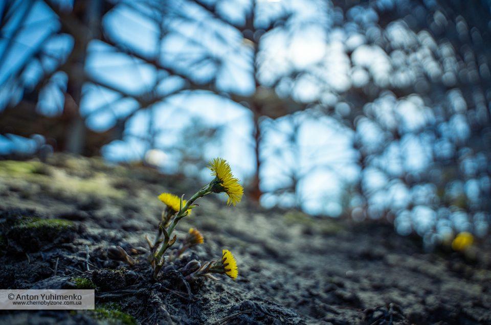 В Чернобыльской зоне наступила настоящая весна