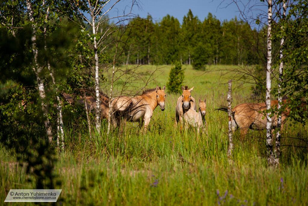 Лошади Пржевальского в Чернобыле