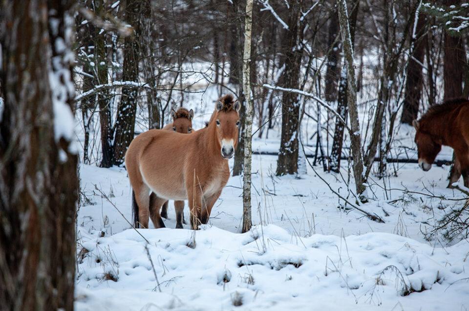 Чернобыльские лошади Пржевальского